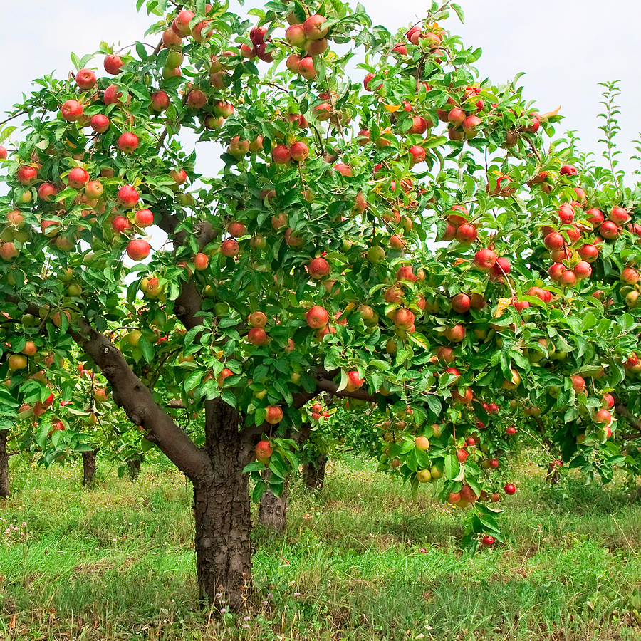 Apple-tree-with-fruit